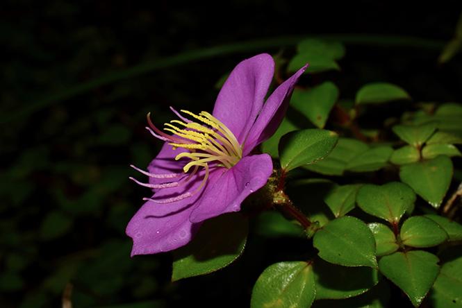 Heterotis rotundifolia - Reinaldo Aguilar - Canto das Flores 6