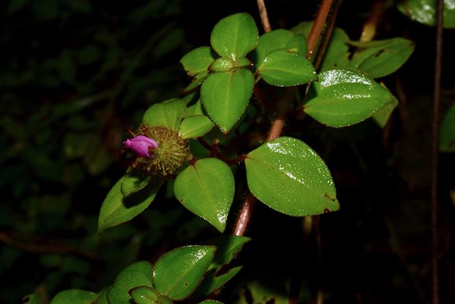 Heterotis rotundifolia - Reinaldo Aguilar - Canto das Flores 8