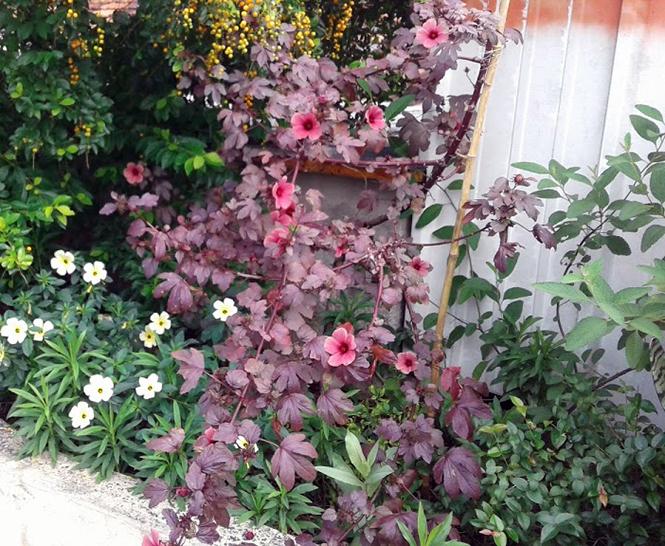 Hibiscus acetosella - Canto das Flores 1