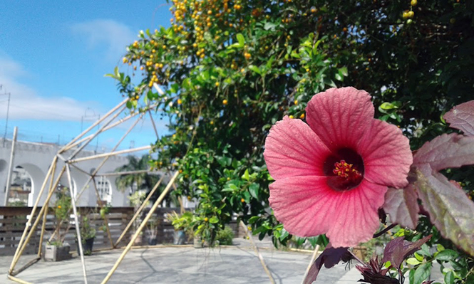 Hibiscus acetosella - Canto das Flores 3