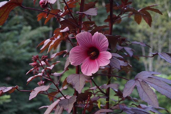 Hibiscus acetosella - Canto das Flores 4