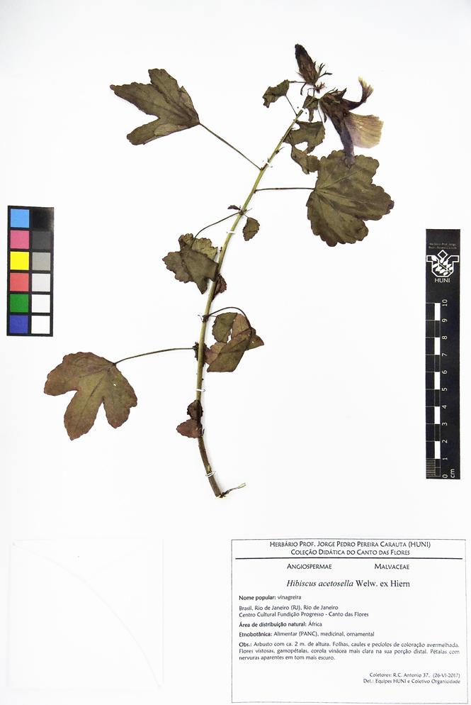 Hibiscus acetosella - exsicata