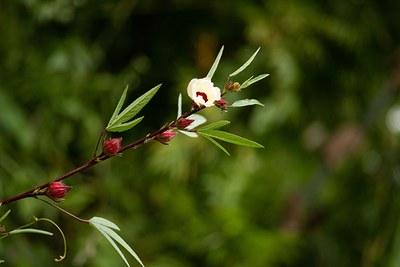 Hibiscus sabdariffa 2