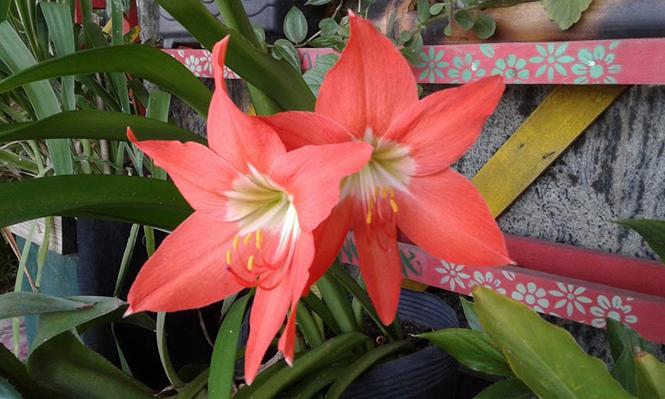 Hippeastrum puniceum - Canto das Flores 1