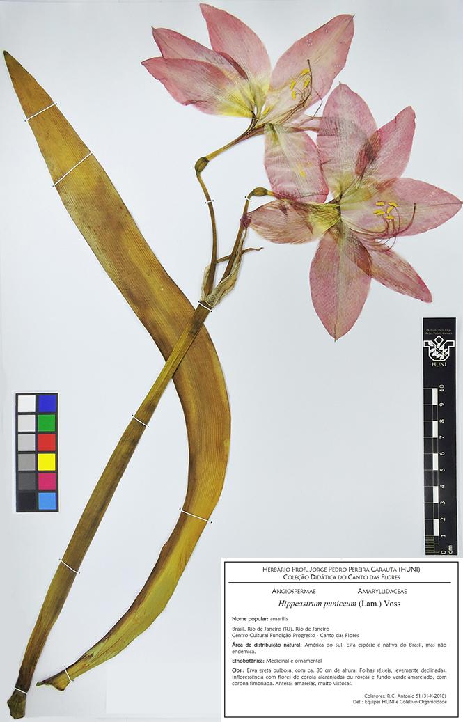 Hippeastrum puniceum - Exsicata