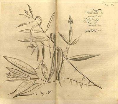 Hortus Indicus Malabaricus - Justicia gendarussa
