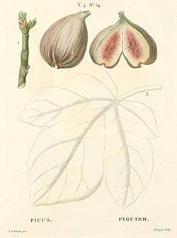 Imagem Ficus carica L.