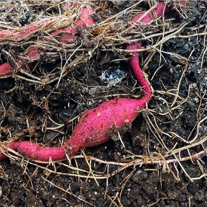 Ipomoea batatas - Organicidade - Canto das Flores 8