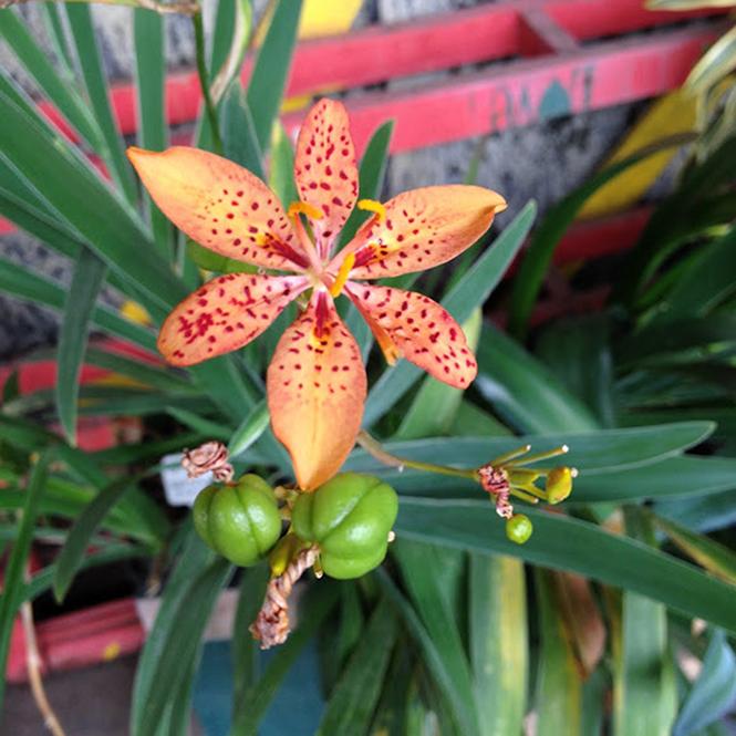 Iris domestica - Canto das Flores 3