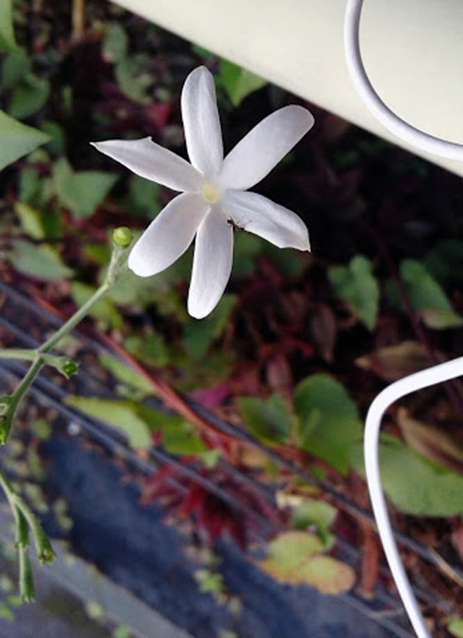 Jasminum azoricum - Canto das Flores 1