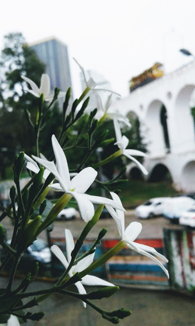 Jasminum azoricum - Canto das Flores 3