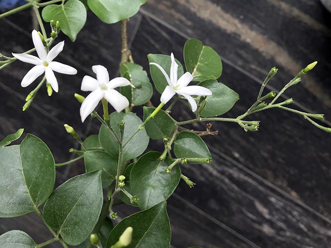 Jasminum azoricum - Canto das Flores 4