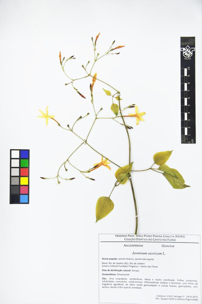 Jasminum azoricum - Exsicata