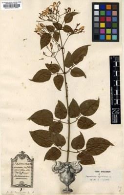 Jasminum azoricum - Tipo
