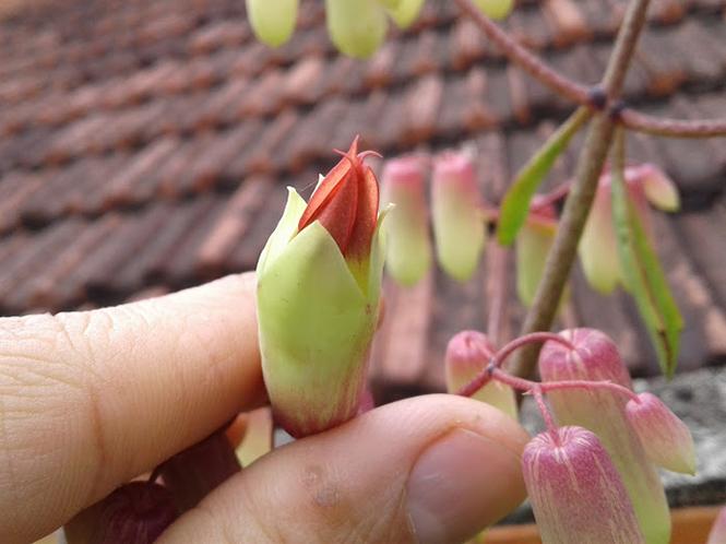 Kalanchoe pinnata - Canto das Flores 4
