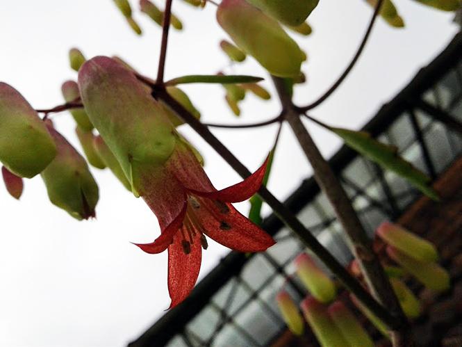 Kalanchoe pinnata - Canto das Flores 6
