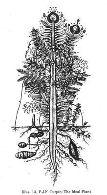 Kalanchoe pinnata - Urpflanze