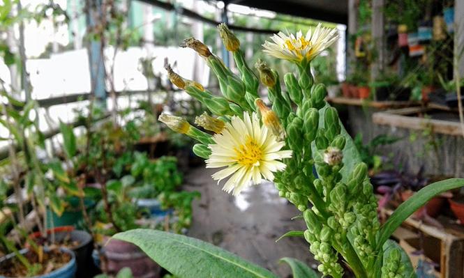 Lactuca indica - Canto das Flores 10