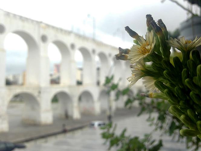 Lactuca indica - Organicidade - Canto das Flores 1