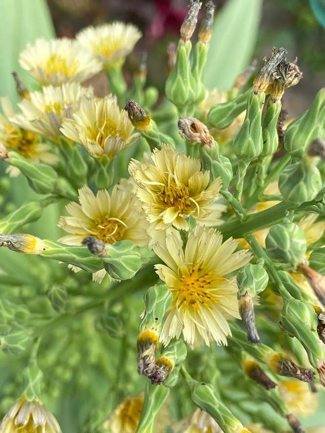 Lactuca indica - Organicidade - Canto das Flores 5