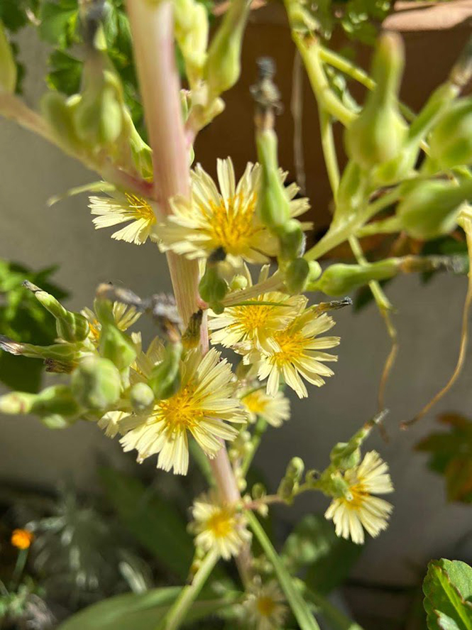 Lactuca indica - Organicidade - Canto das Flores 6