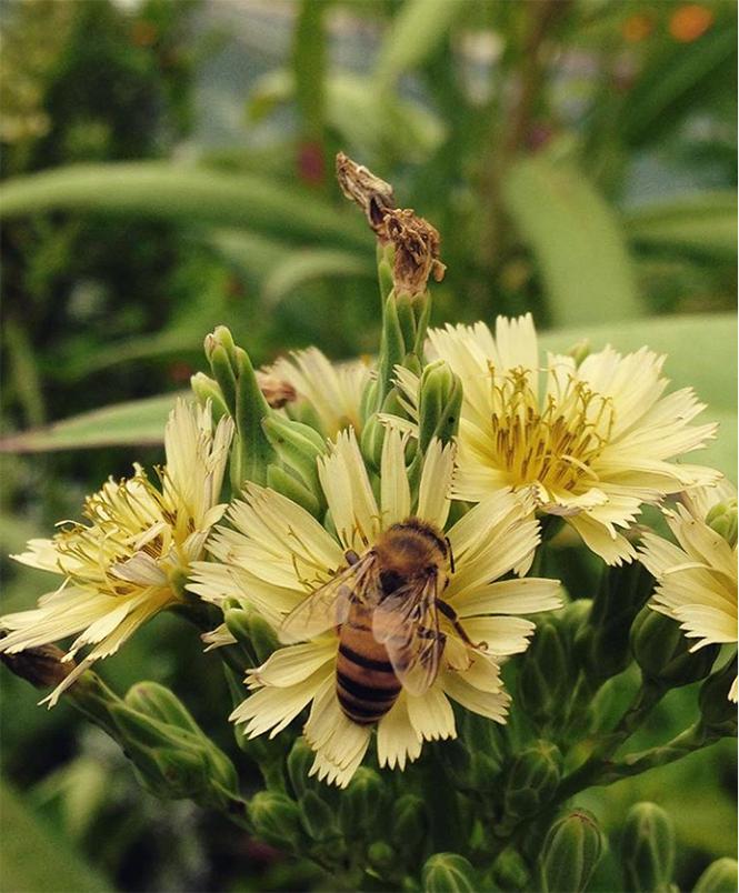 Lactuca indica - Organicidade - Canto das Flores 7