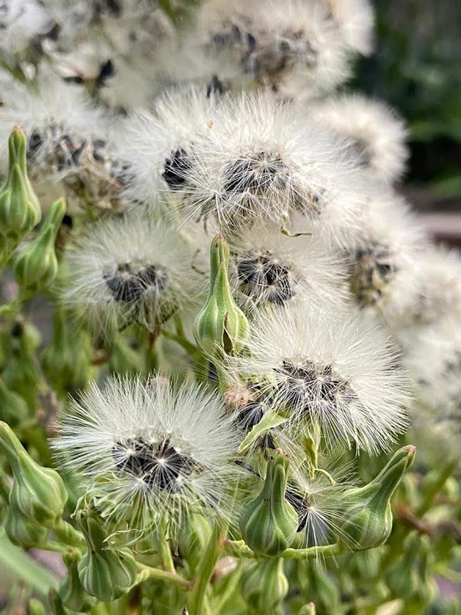 Lactuca indica - Organicidade - Canto das Flores 8