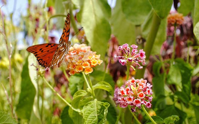 Lantana camara - Canto das Flores 1