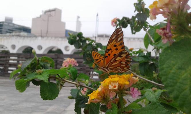 Lantana camara - Canto das Flores 2