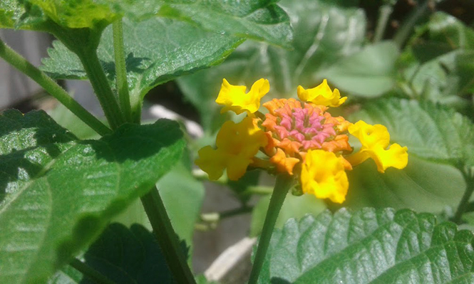Lantana camara - Canto das Flores 3