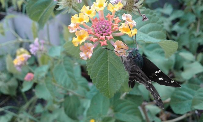 Lantana camara - Canto das Flores 4