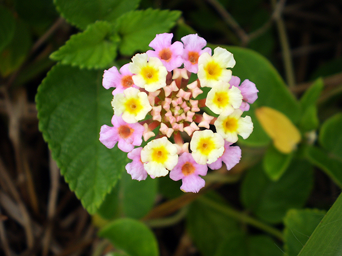 Lantana camara - Canto das Flores 5