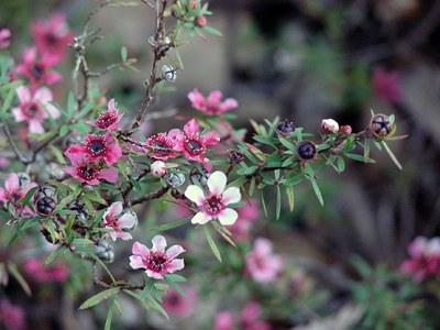 Leptospermum scoparium - Forest e Kim Starr