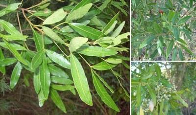 Lithraea molleoides - Andrés González