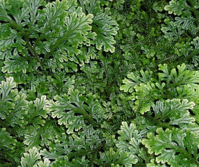 Lycopodium bryopteris