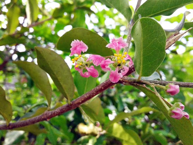Malpighia emarginata - Canto das Flores 2