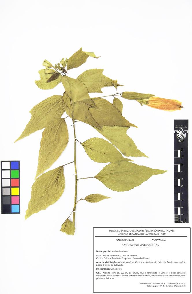 Malvaviscus arboreus - Exsicata corrigida