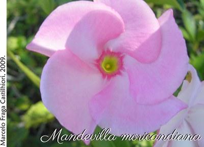 Mandevilla moricandiana