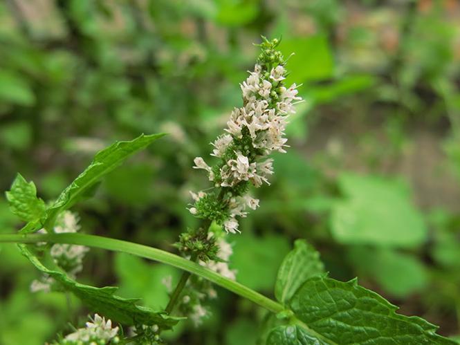 Mentha spicata - Organicidade - Canto das Flores 1