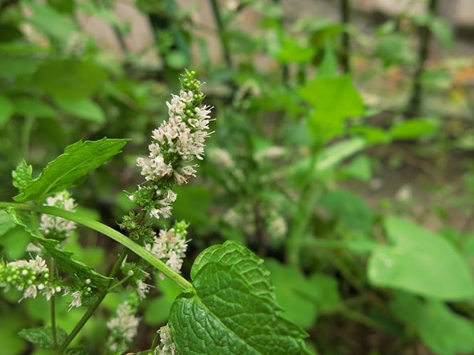Mentha spicata - Organicidade - Canto das Flores 2