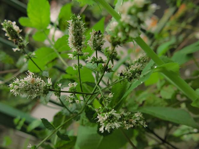 Mentha spicata - Organicidade - Canto das Flores 3