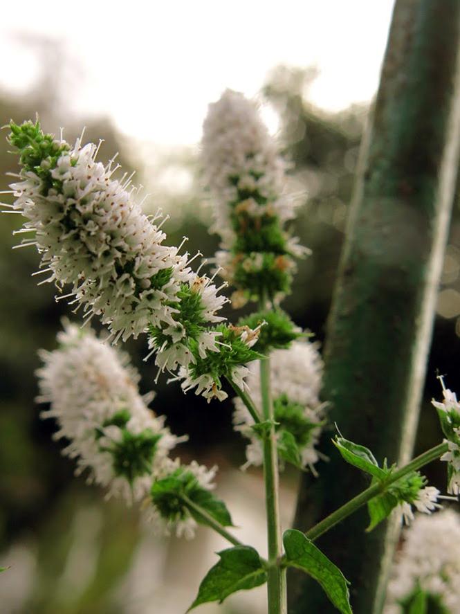 Mentha spicata - Organicidade - Canto das Flores 7