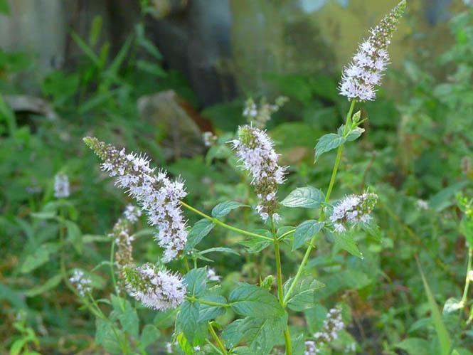Mentha spicata - Radu Chibzii - Canto das Flores 8