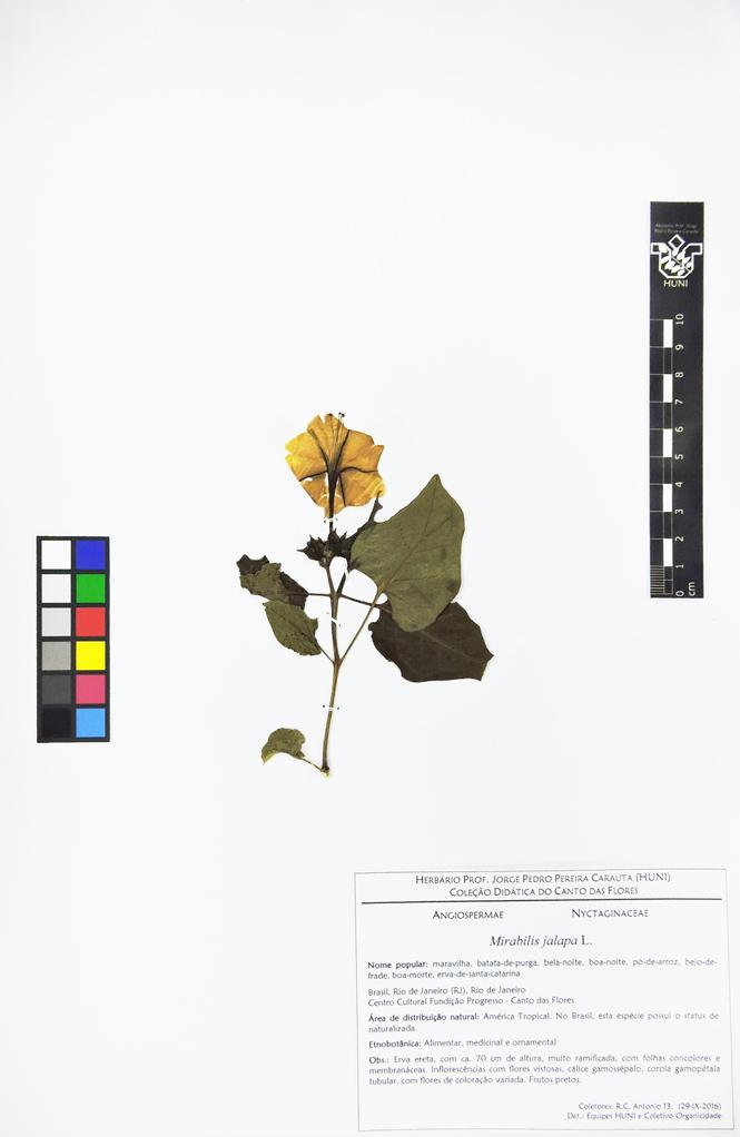 Mirabilis jalapa - Exsicata