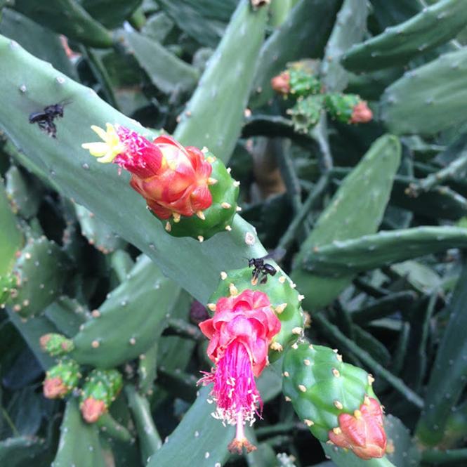 Nopalea cochenillifera - Canto das Flores 2