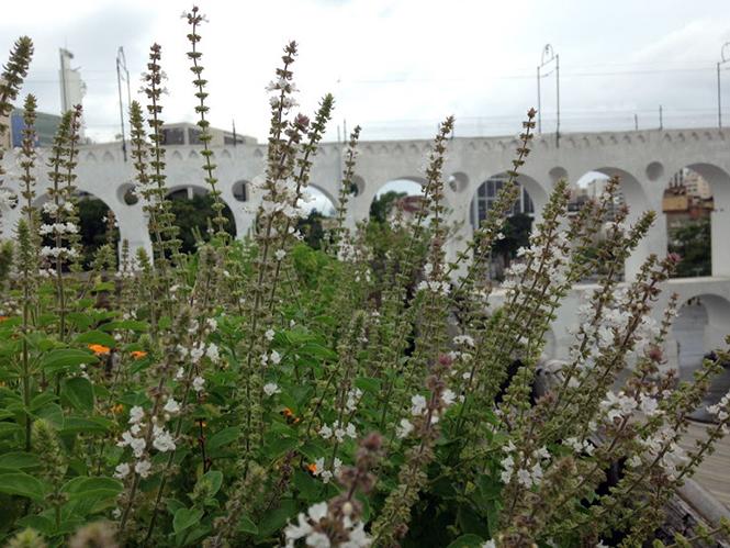 Ocimum basilicum - Canto das Flores 2