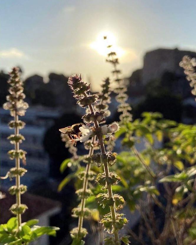 Ocimum basilicum - Canto das Flores 7