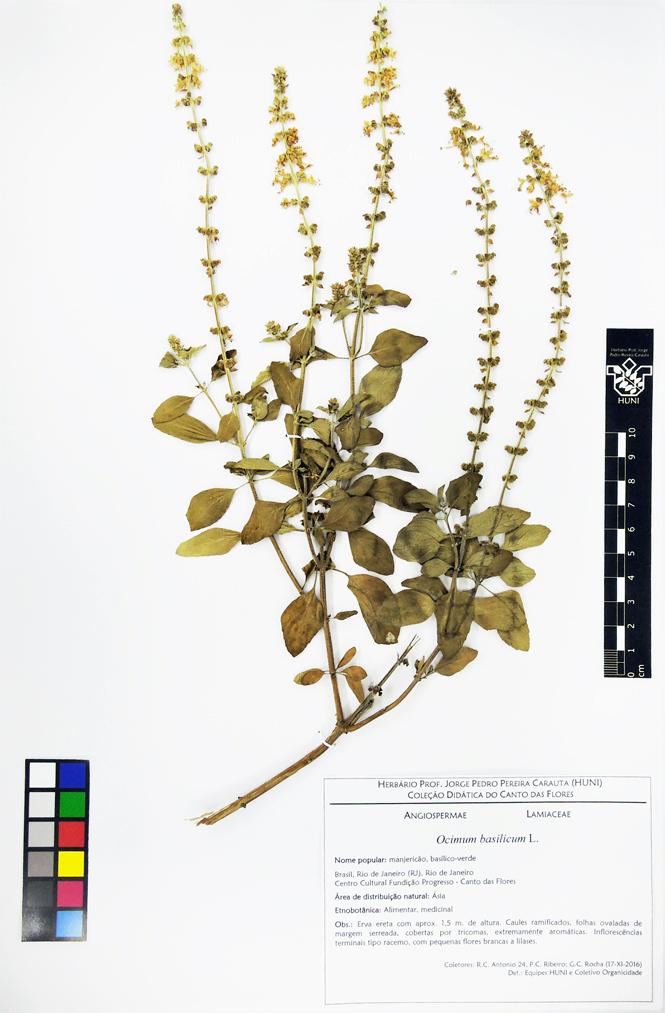 Ocimum basilicum - exsicata