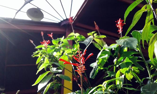 Odontonema tubaeforme - Canto das Flores 1