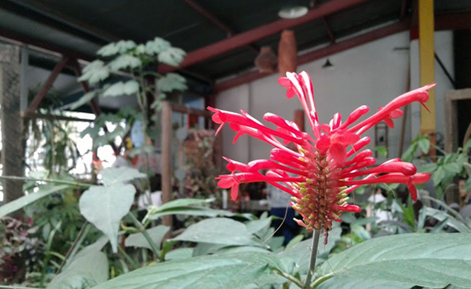 Odontonema tubaeforme - Canto das Flores 2